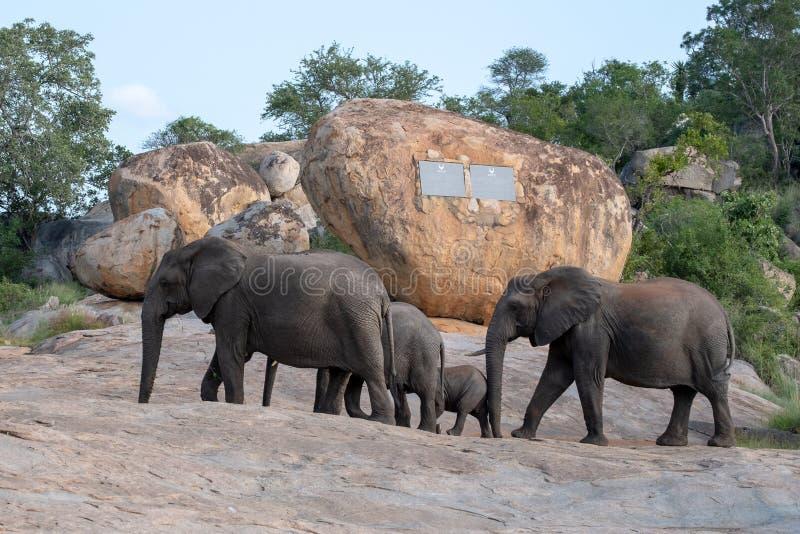 Grupo da família de elefantes que andam após o memorial de Paul Kruger no parque nacional de Kruger, África do Sul foto de stock