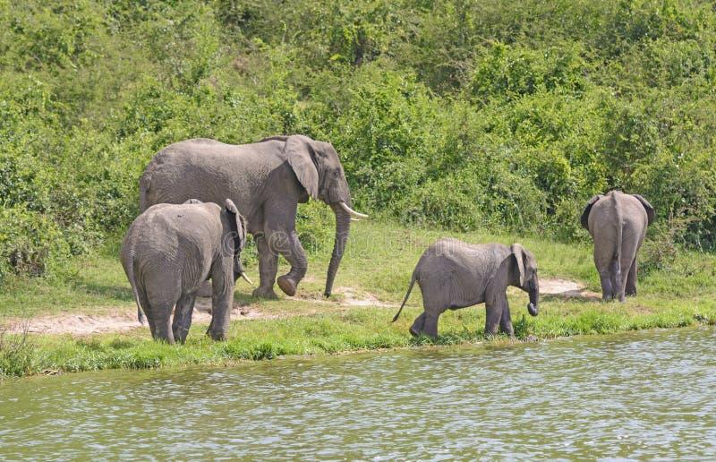 Grupo da família do elefante africano ao longo de um rio fotografia de stock