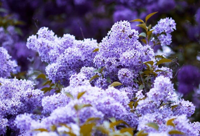 Grupo da flor violeta do lilac foto de stock royalty free