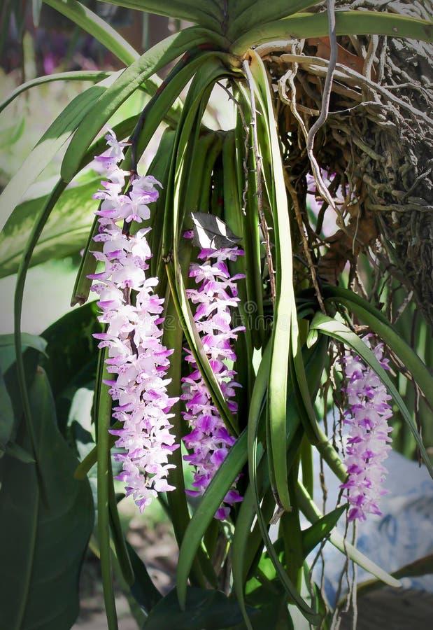 Grupo da orquídea branca doce com os testes padrões roxos da cor que florescem e que penduram na árvore, gigantea decorativo dos  imagens de stock royalty free