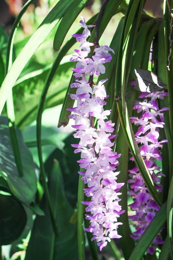 Grupo da orquídea branca doce com os testes padrões roxos da cor que florescem e que penduram na árvore, gigantea decorativo dos  imagem de stock