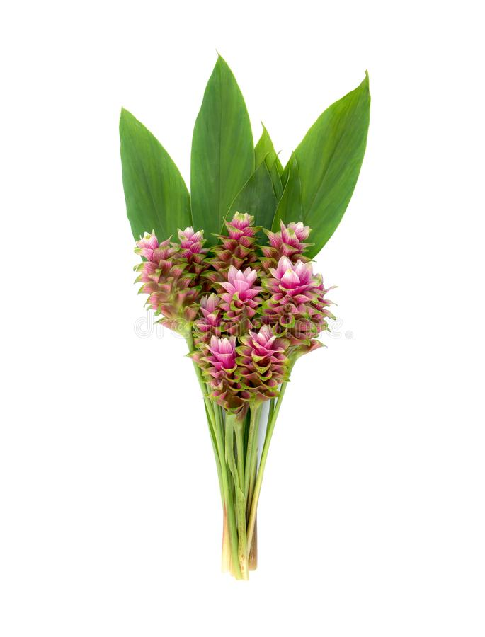Grupo da tulipa de Sião ou das flores da curcuma isolada no fundo branco fotos de stock