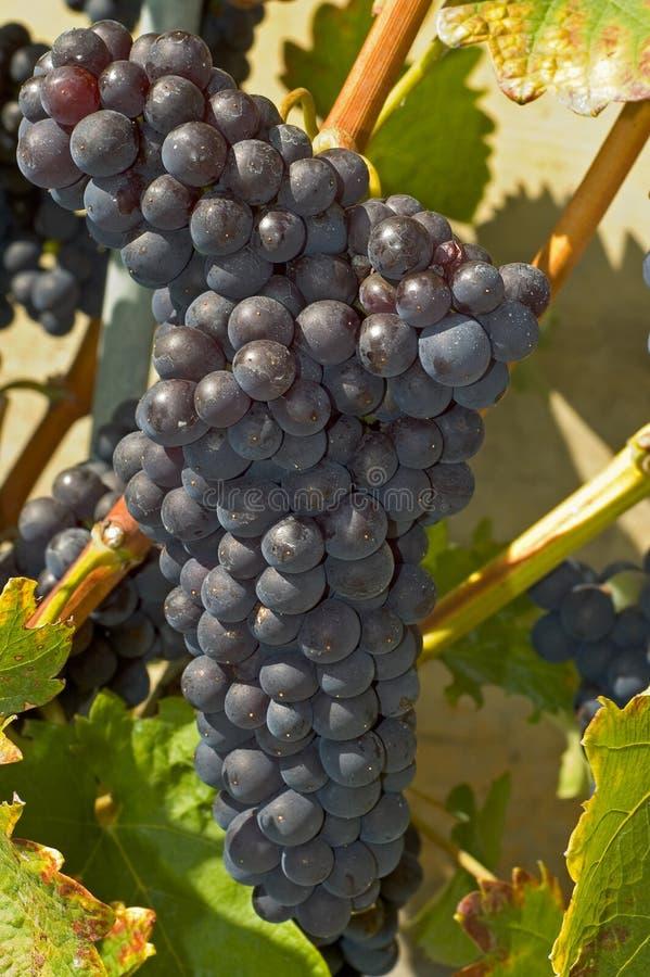 Grupo da uva vermelha na videira foto de stock royalty free