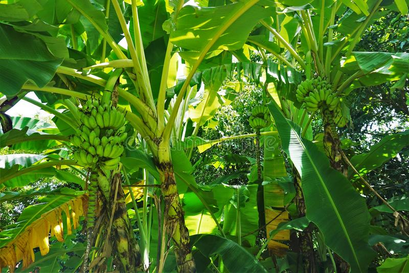 Grupo das bananas em uma plantação de banana imagem de stock