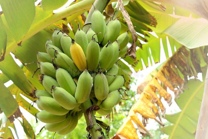 Grupo das bananas na árvore imagem de stock royalty free