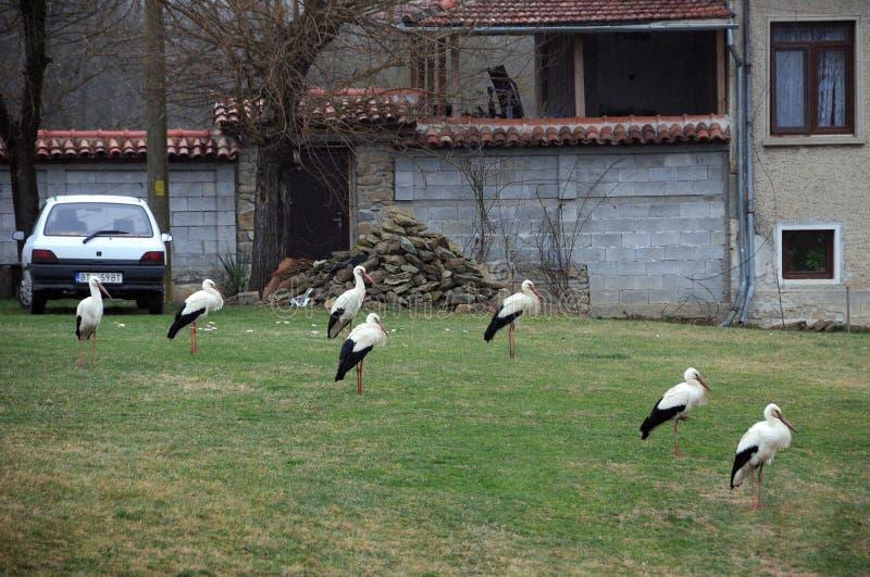 Grupo das cegonhas brancas na vila imagens de stock