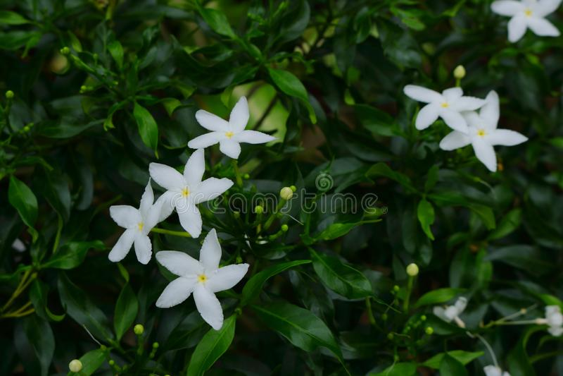 Grupo das flores brancas da gardênia fotos de stock