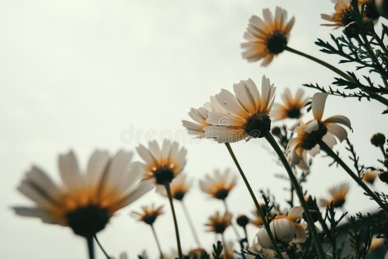 Grupo das flores da margarida branca vistas imagens de stock