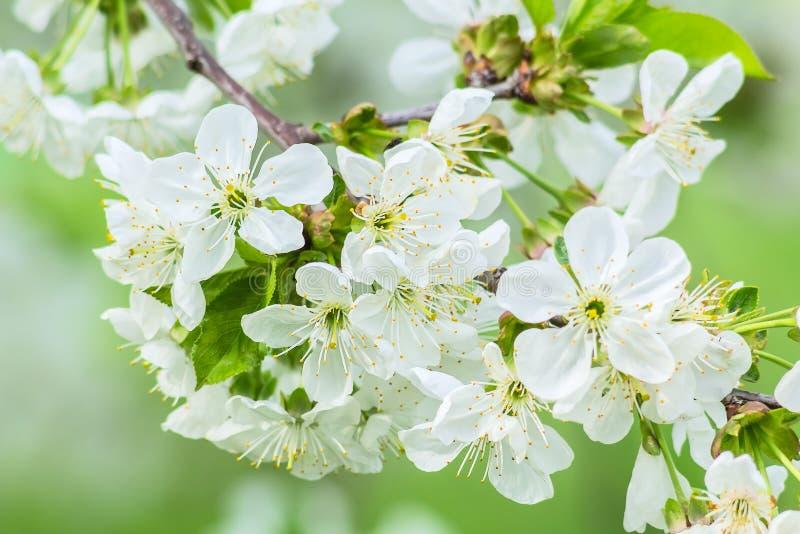 Grupo das flores de cerejeira, macro imagem de stock royalty free
