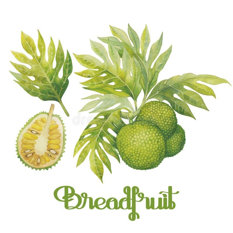 Grupo das frutas-pão da aquarela ilustração royalty free