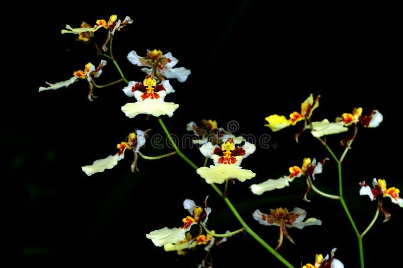 Download Grupo Das Orquídeas Brancas Foto de Stock - Imagem de flor, fazenda: 10066668