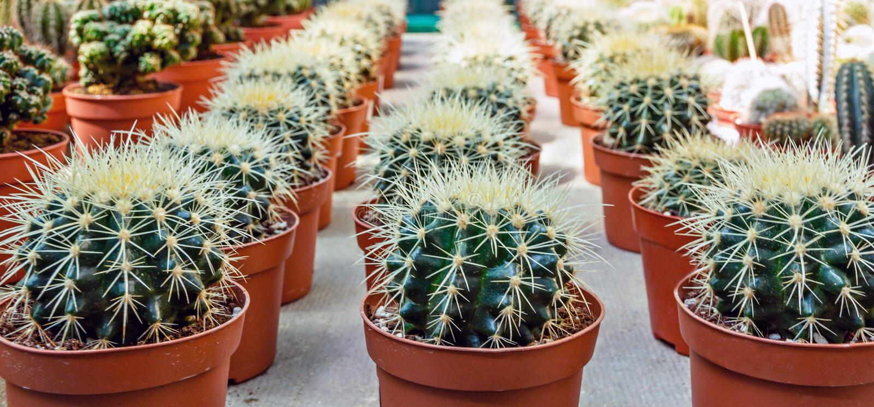 Grupo das plantas do cacto de areia do deserto Flores mexicanas dos cactos da flora das plantas carnudas verdes foto de stock