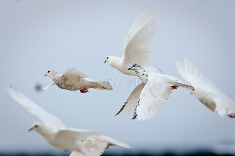 Grupo das pombas brancas no vôo fotografia de stock royalty free