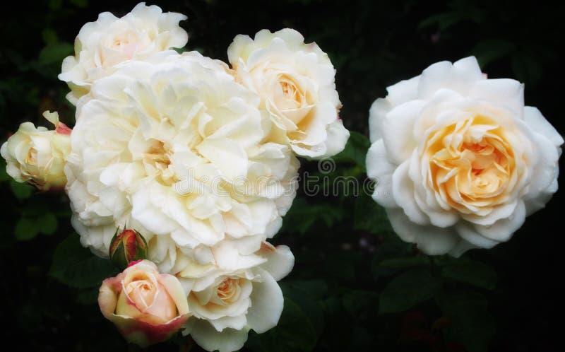 Grupo das rosas brancas imagem de stock