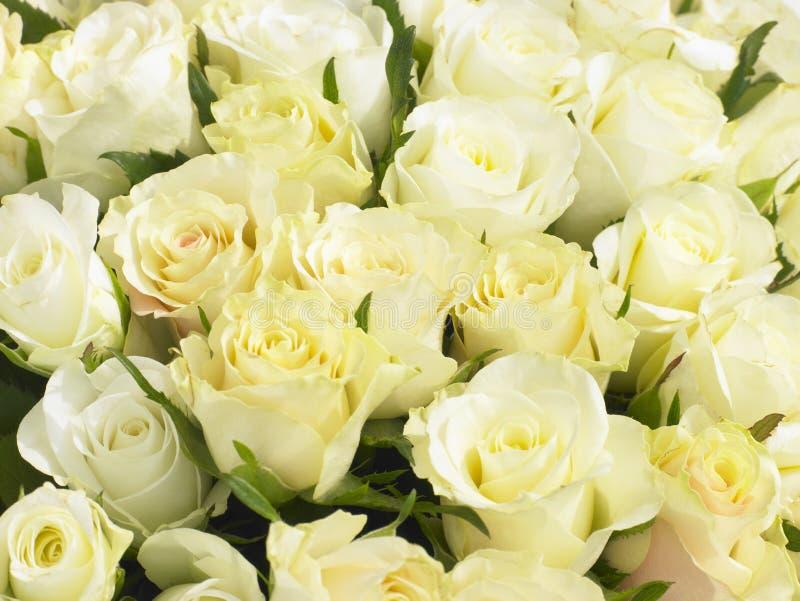 Grupo das rosas de creme foto de stock