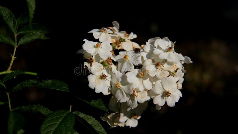 Grupo das rosas selvagens brancas imagem de stock
