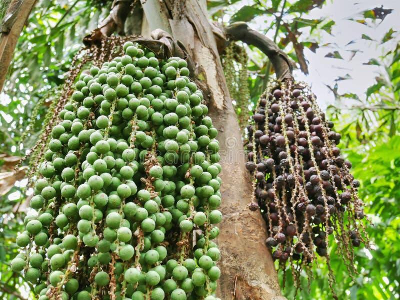 Grupo das sementes pequenas da palma que penduram na palmeira com foco seletivo fotografia de stock