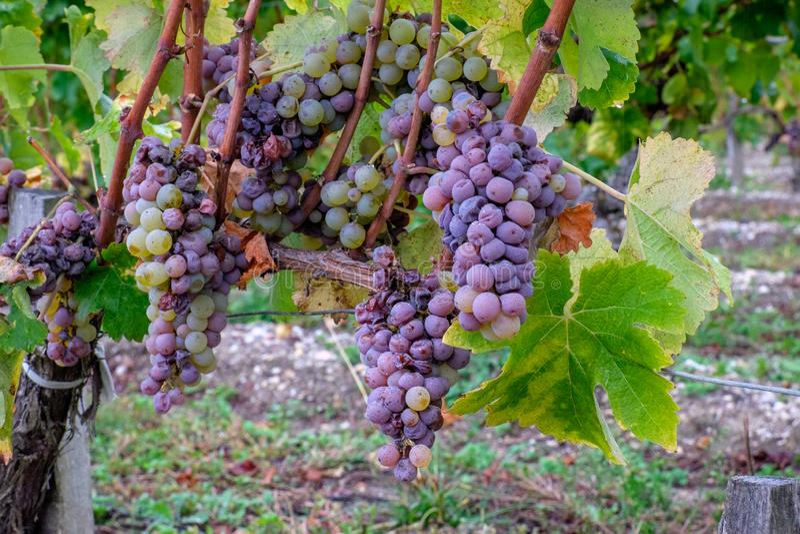 Grupo das uvas mouldy brancas dos Sauternes, França imagens de stock
