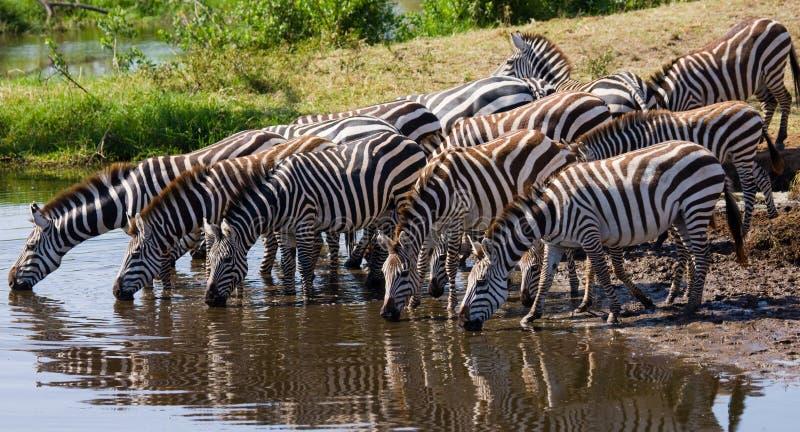 Grupo de água potável das zebras do rio kenya tanzânia Parque nacional serengeti Maasai Mara imagens de stock royalty free