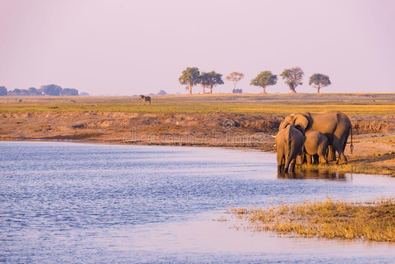 Grupo de água potável dos elefantes africanos do rio de Chobe no por do sol O safari e o barco dos animais selvagens cruzam no pa fotografia de stock royalty free