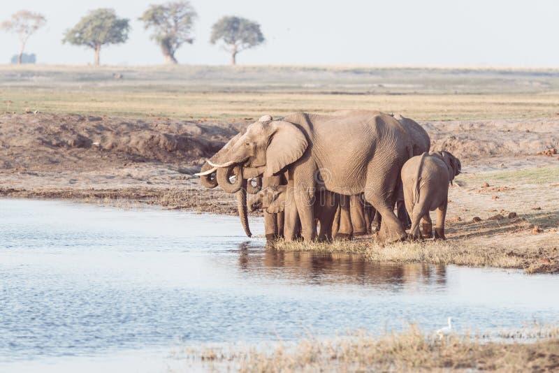 Grupo de água potável dos elefantes africanos do rio de Chobe no por do sol O safari e o barco dos animais selvagens cruzam no pa fotografia de stock