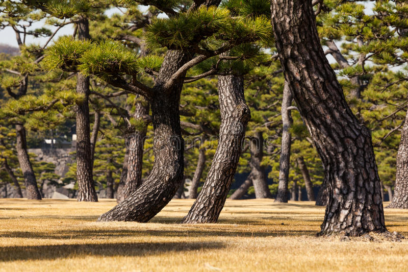 Grupo de árboles de pino en Tokio Gaien fotos de archivo libres de regalías