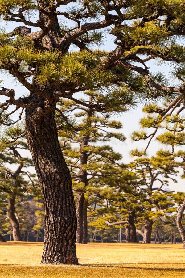 Grupo de árboles de pino en Tokio Gaien foto de archivo