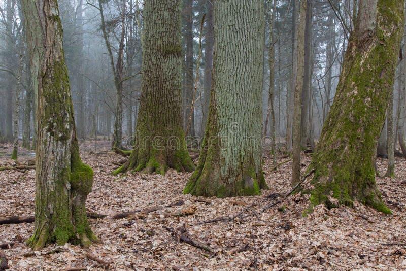 Grupo de árboles decidous muy viejos de lado a lado en soporte de hojas caducas de la primavera foto de archivo