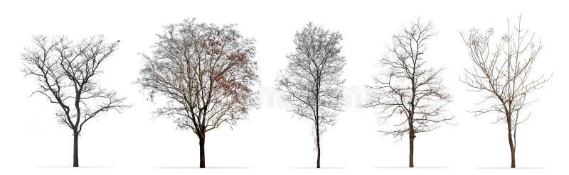 Grupo de árvores do inverno sem folhas isoladas no branco fotografia de stock