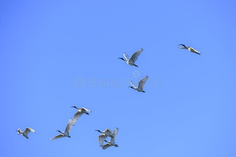 Grupo de íbis de cabeça negra em voo foto de stock royalty free