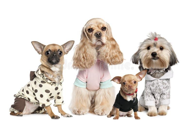 Grupo de 4 cães vestidos: chihuahua, tzu do shih e C imagens de stock