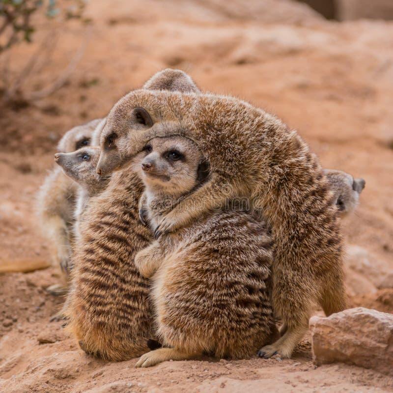 Grupo de abrazo de los meerkats imágenes de archivo libres de regalías
