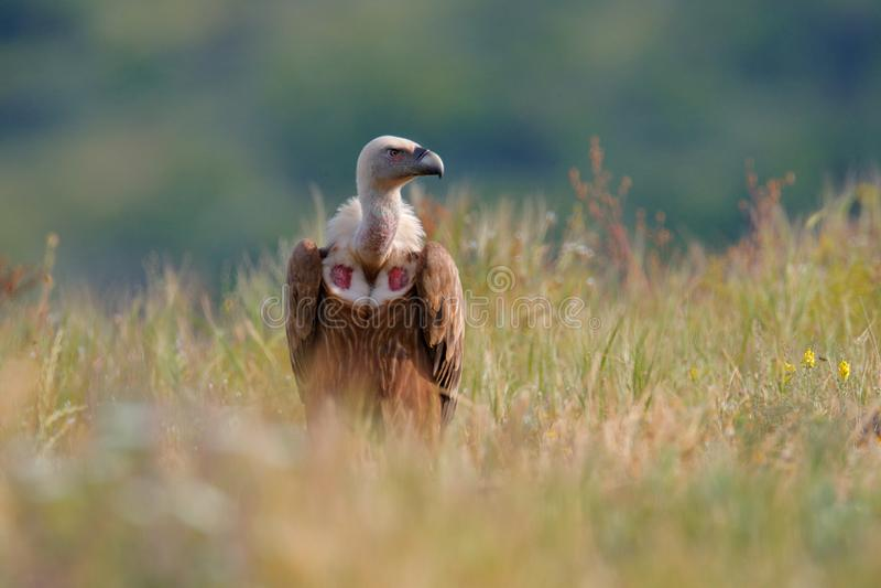 Grupo de abutres Griffon Vulture, fulvus dos Gyps, pássaros de rapina grandes que sentam-se na montanha rochosa, habitat da natur foto de stock