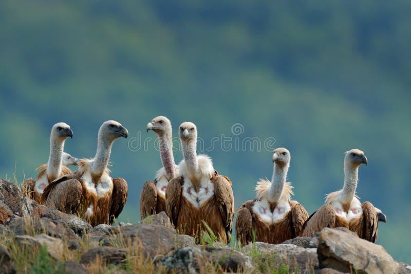 Grupo de abutres Griffon Vulture, fulvus dos Gyps, pássaros de rapina grandes que sentam-se na pedra, montanha da rocha, habitat  foto de stock royalty free