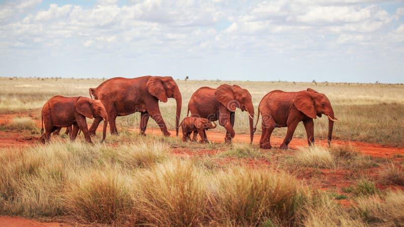 Grupo de africana do Loxodonta dos elefantes, vermelho da poeira, andando fotografia de stock royalty free
