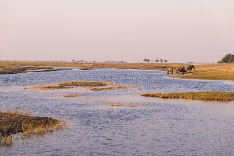 Grupo de agua potable de los elefantes africanos del río de Chobe en la puesta del sol El safari y el barco de la fauna cruzan en imagen de archivo libre de regalías