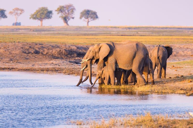 Grupo de agua potable de los elefantes africanos del río de Chobe en la puesta del sol El safari y el barco de la fauna cruzan en fotografía de archivo libre de regalías