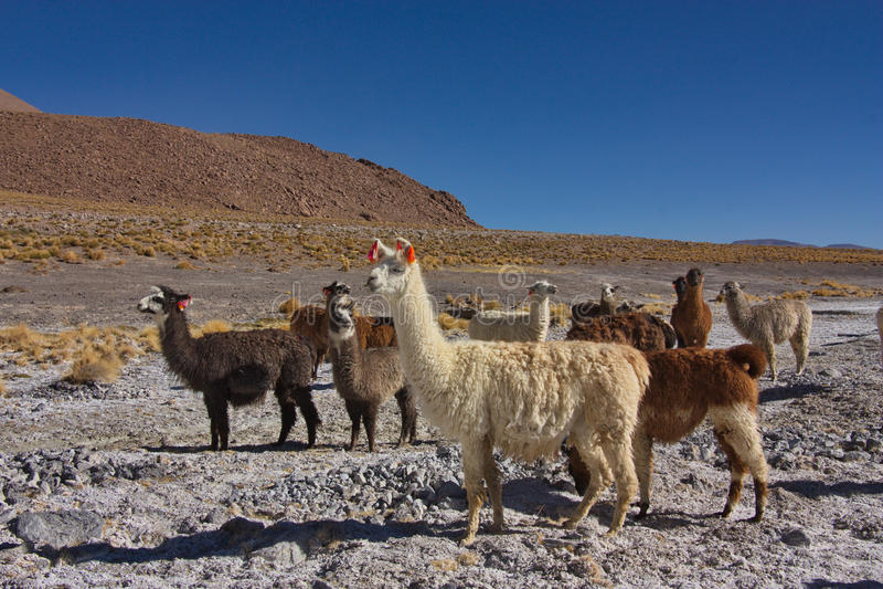 Grupo de alpacas fotos de archivo