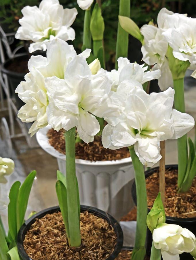 Grupo de Amaryllis Alfresco Flower In una maceta imagen de archivo libre de regalías
