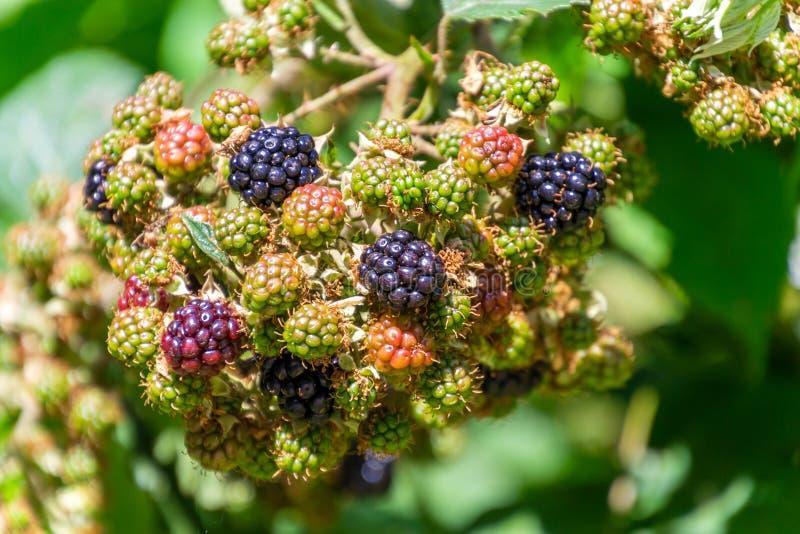 Grupo de amoras-pretas maduras e verdes no arbusto no jardim imagem de stock royalty free