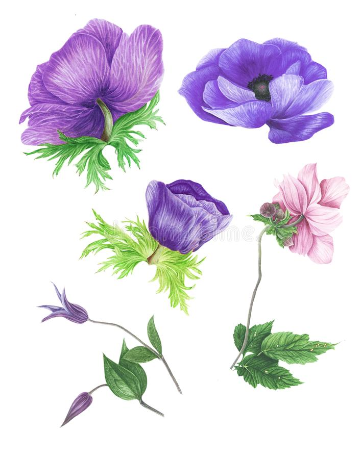 Grupo de anêmonas, de clematite e de folhas violetas cor-de-rosa, pintura da aquarela ilustração do vetor