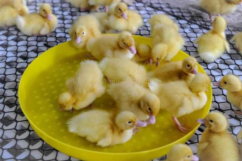 Grupo de anadones amarillos en bandeja viva foto de archivo libre de regalías