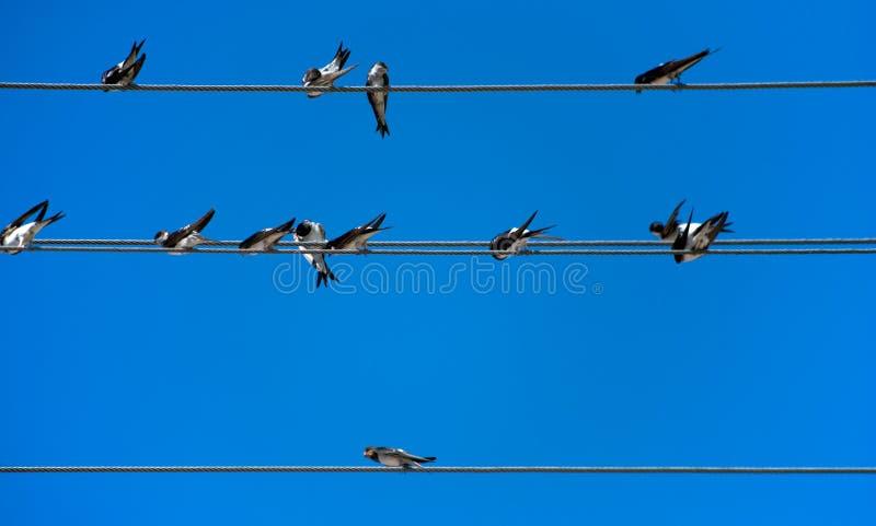 Grupo de andorinhas em fios imagens de stock royalty free