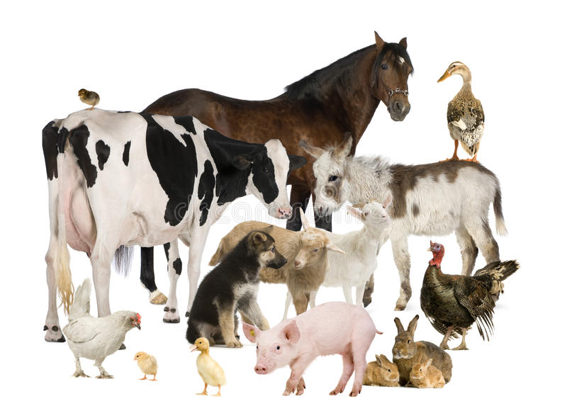 Grupo de animais de exploração agrícola fotografia de stock royalty free