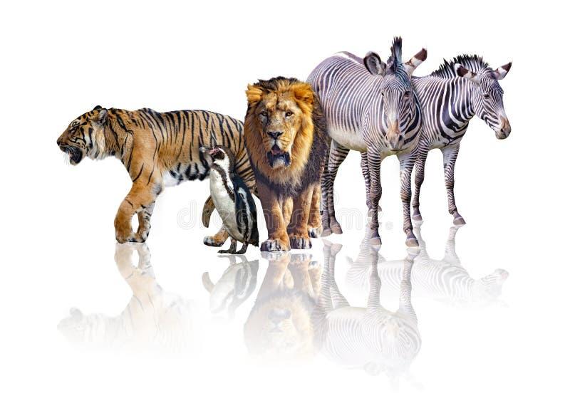 Grupo de animales africanos del safari que caminan junto Se a?sla en el fondo blanco Refleja su imagen Hay foto de archivo libre de regalías