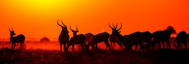 Grupo de antílope en la puesta del sol Primer botswana Delta de Okavango imagenes de archivo