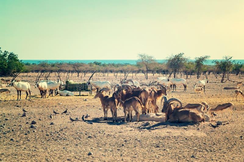 Grupo de antílopes y de ovejas de montaña en un parque del safari en la isla de Sir Bani Yas, United Arab Emirates fotografía de archivo