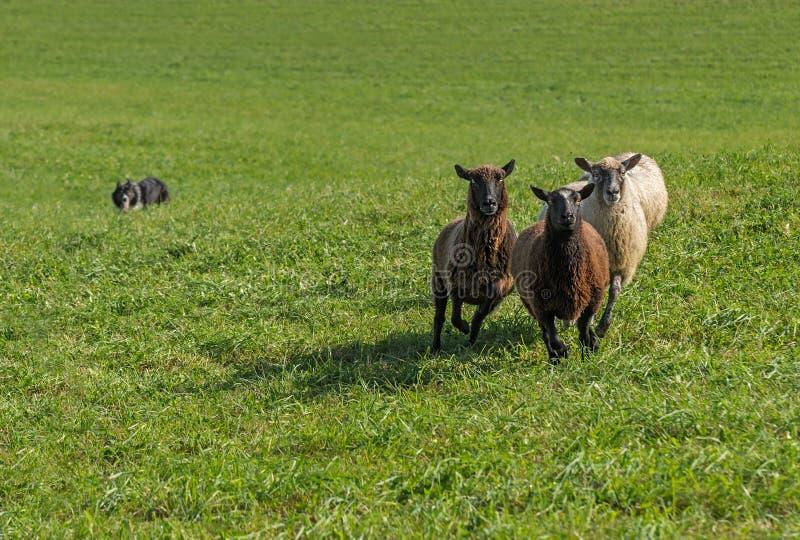 Grupo de aries do Ovis dos carneiros com o cão conservado em estoque no fundo imagens de stock