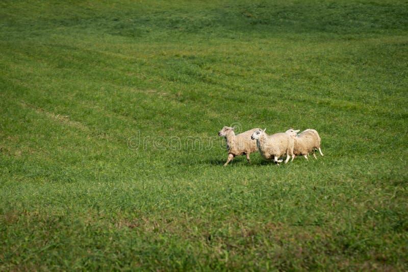Grupo de aries do Ovis dos carneiros corrido à esquerda fotografia de stock royalty free