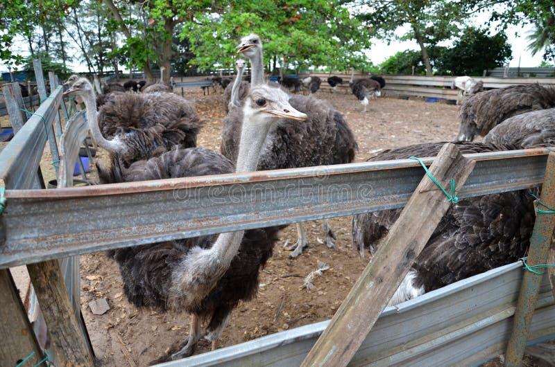 Grupo de avestruzes em uma exploração agrícola imagens de stock